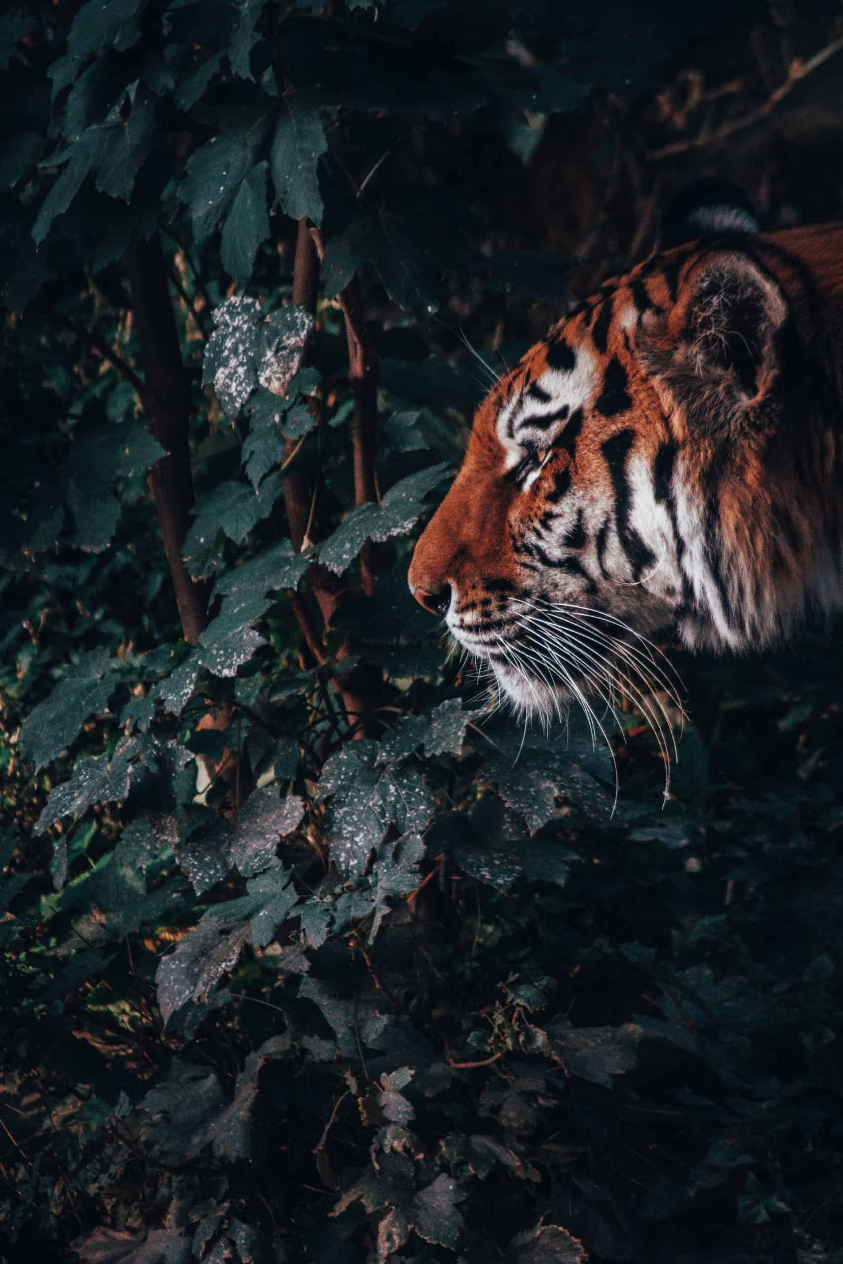 A Complete Guide To Take A Tiger Photo With Its Cub