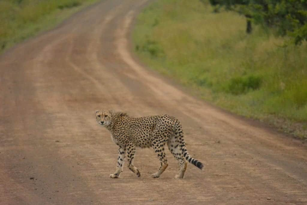 What Does It Take To Capture Cheetah Images?
