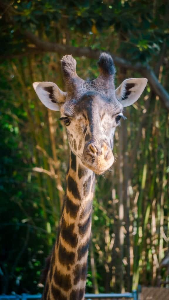 Giraffe Pictures: Capturing The Iconic Animal On Your Camera