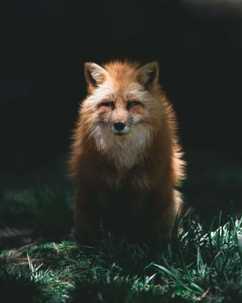 Fox Pictures: How To Capture The Best Hunter?