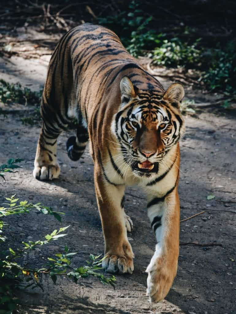 Capturing Tiger Picture: It's All About Aperture And Lighting