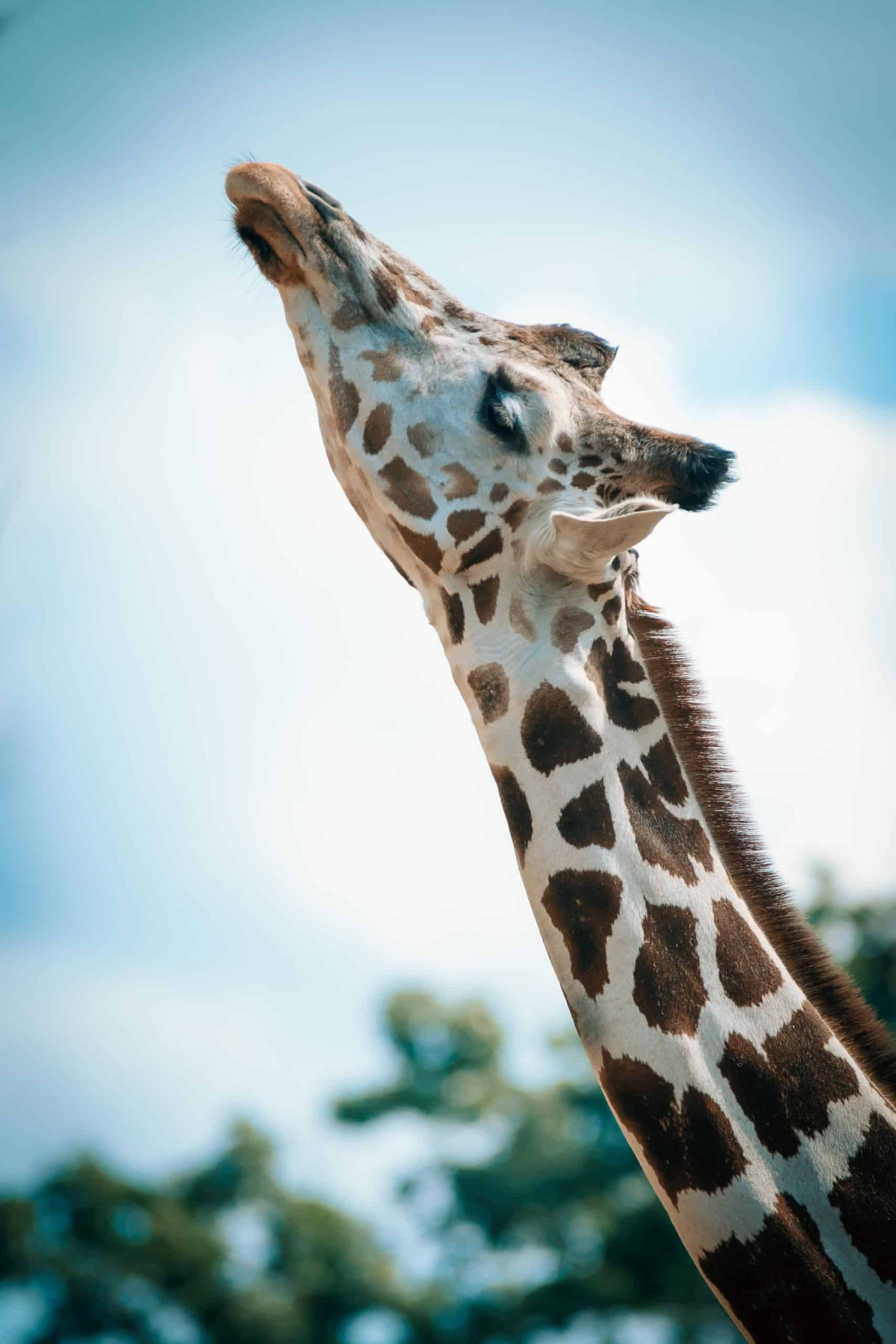 Here's How You Can Get The Perfect Giraffe Pictures Shot