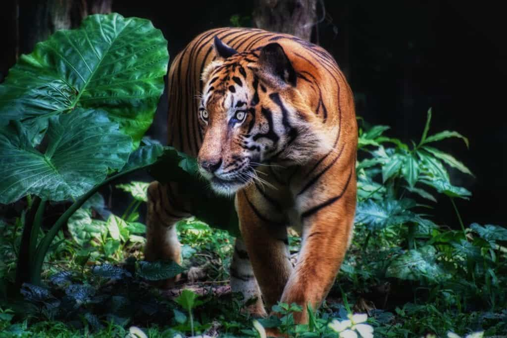 Camera Car: The Best Invention For Capturing Tiger Photo