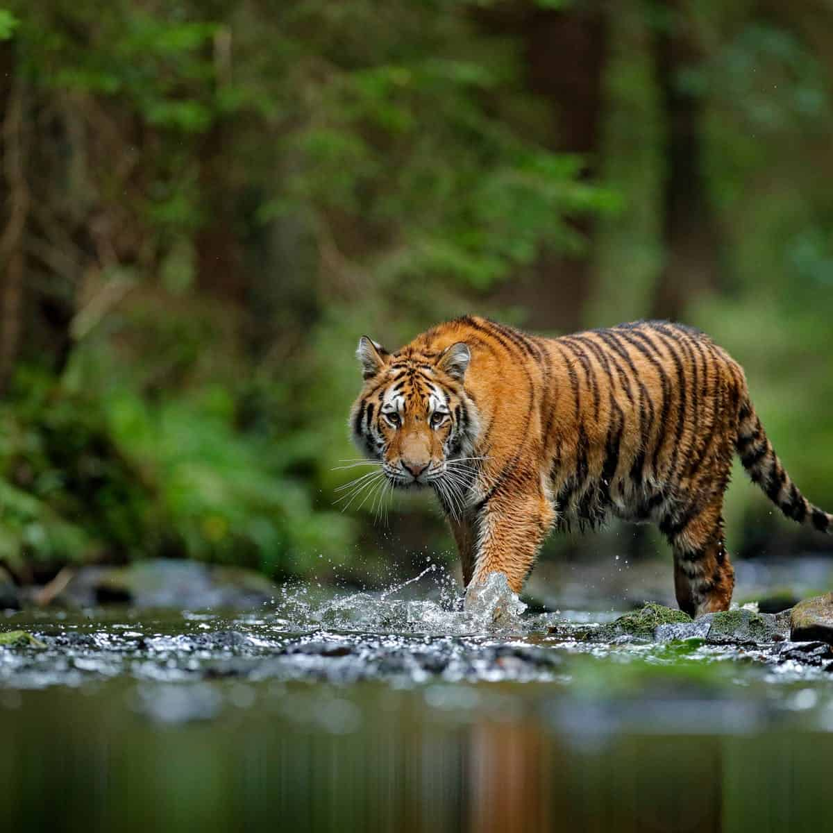 Capture That Shot Of A Tiger Head And Body