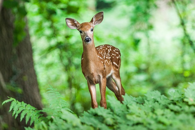 A deer looking at the camera